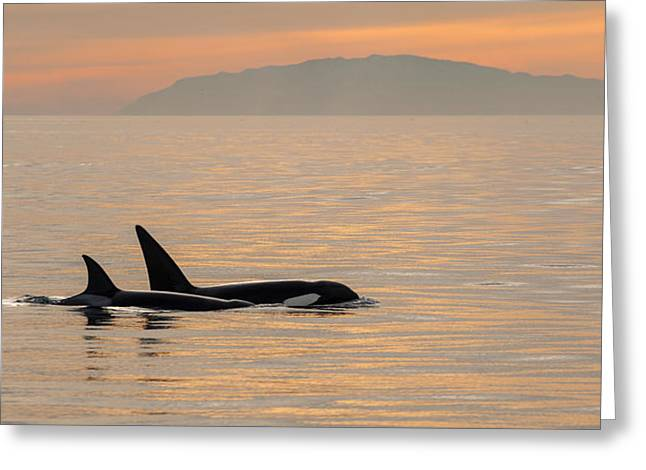 Orcas Off The California Coast Greeting Card