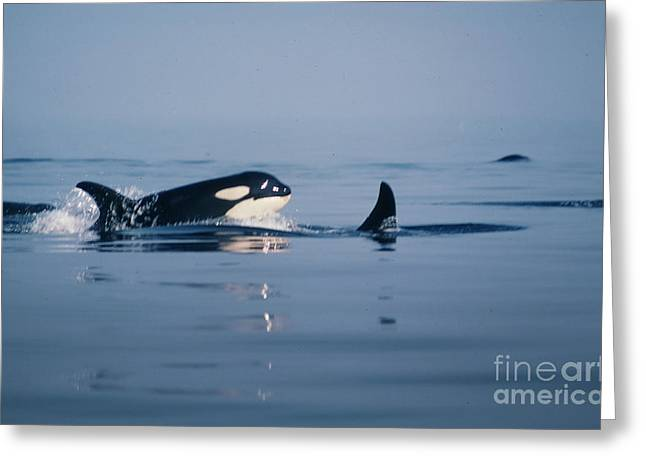 Greeting Card featuring the photograph Orcas Off The San Juan Islands Washington  1986 by California Views Mr Pat Hathaway Archives