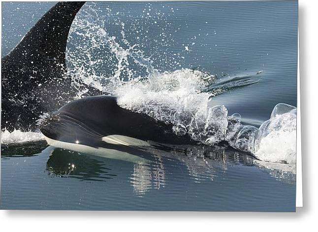 Orcas Surfacing Brothers Island Alaska Greeting Card by Flip Nicklin