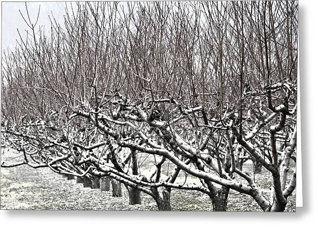Orchard In Winter Greeting Card