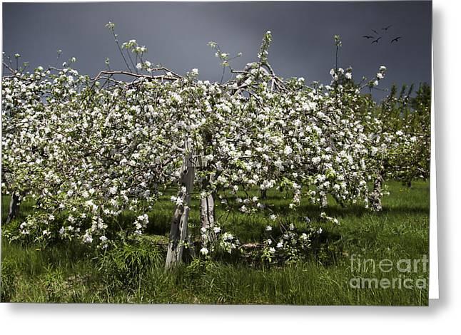 Orchard Greeting Card by Karin Pinkham
