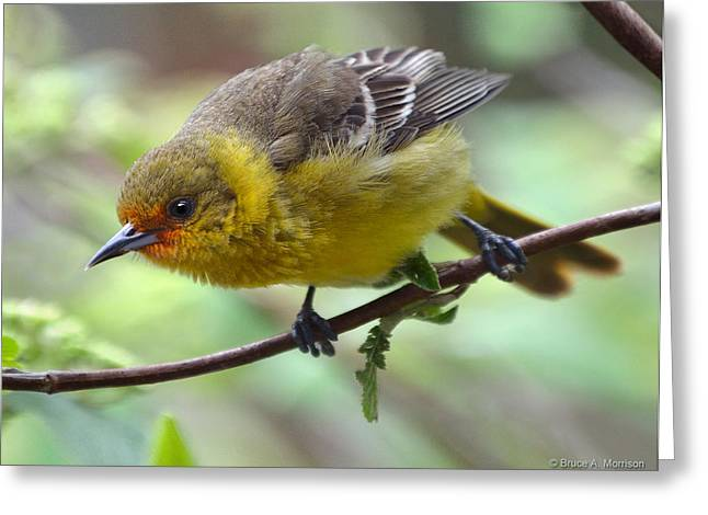 Orchard Oriole Female Greeting Card