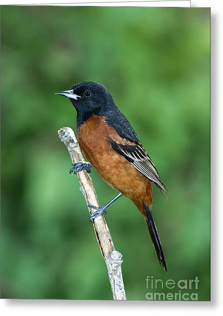 Orchard Oriole Icterus Spurius Adult Greeting Card by Anthony Mercieca