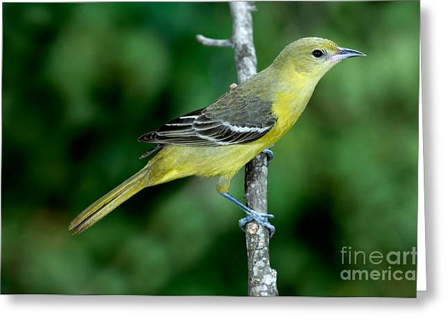 Orchard Oriole Icterus Spurius Female Greeting Card by Anthony Mercieca