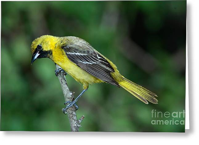 Orchard Oriole Icterus Spurius Juvenile Greeting Card by Anthony Mercieca