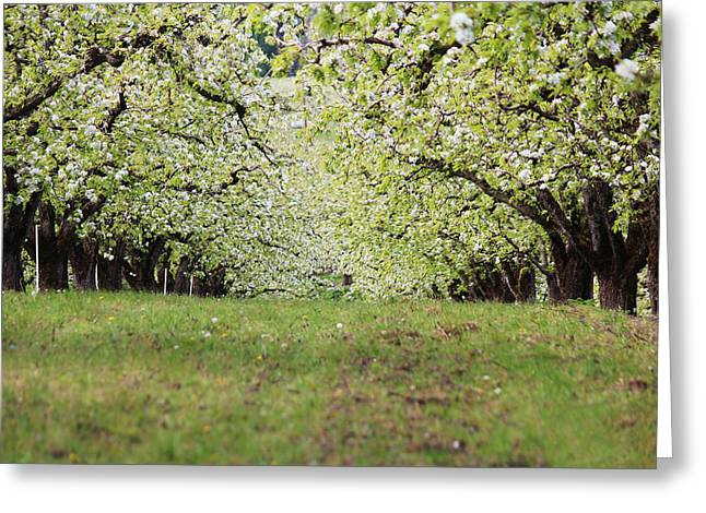 Greeting Card featuring the photograph Orchard by Patricia Babbitt