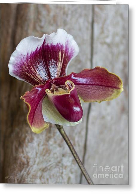 Orchid 105 Greeting Card