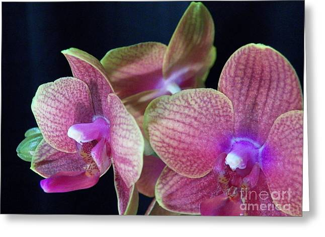 Orchid 2 Greeting Card by Judy Via-Wolff