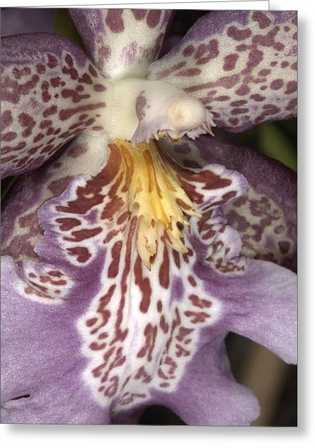 Orchid 483 Greeting Card