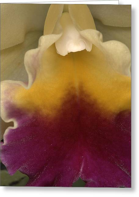 Orchid 491 Greeting Card