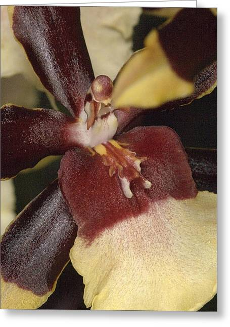 Orchid 496 Greeting Card