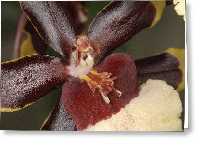 Orchid 497 Greeting Card
