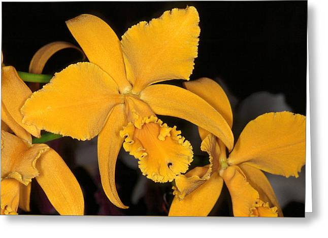 Orchid 5 Greeting Card
