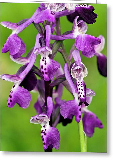 Orchid (anacamptis Longicornu) In Flower Greeting Card by Bob Gibbons
