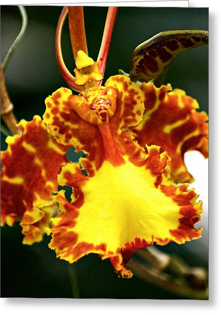 Orchid Greeting Card by Andrew Chianese