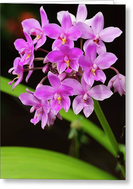 Orchid, Bouma National Heritage Park Greeting Card