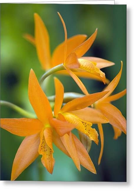Orchid (cattleya Sp.) Greeting Card by Science Photo Library