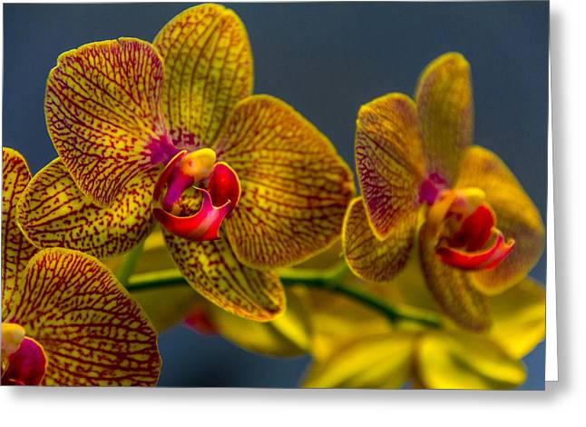 Orchid Color Greeting Card by Marvin Spates