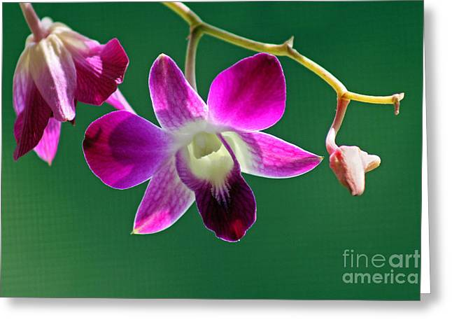Orchid Flower Greeting Card by Karen Adams