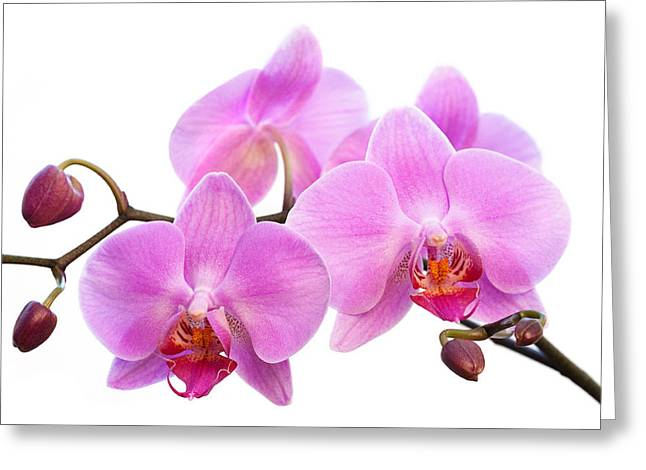 Orchid Flowers II - Pink Greeting Card by Natalie Kinnear