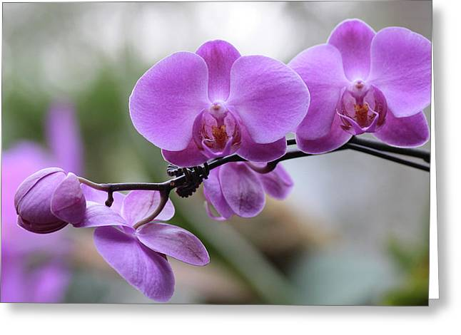 Orchid In Bloom Greeting Card