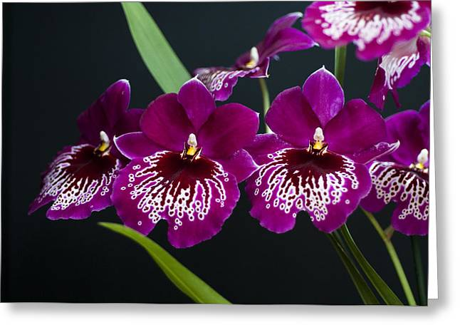 Greeting Card featuring the photograph Orchid Miltonia by Lana Enderle