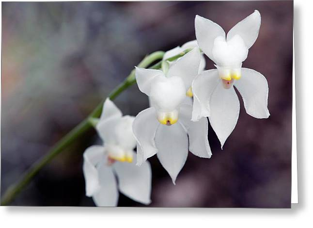 Orchid (osmoglossum Pulchellum) Greeting Card by Sam K Tran/science Photo Library