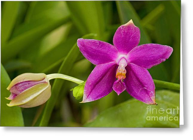 Orchid, Phalaenopsis Ember Greeting Card