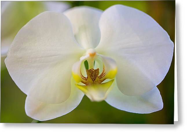 Orchid Trilogy I Greeting Card by Darby Donaho