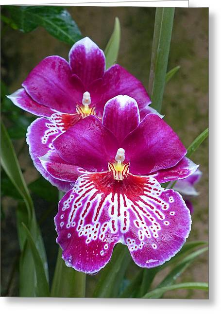 Greeting Card featuring the photograph Orchid Twins by Cindy McDaniel