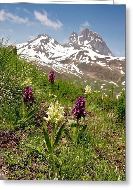 Orchids (dactylorhiza Sambucina) Greeting Card