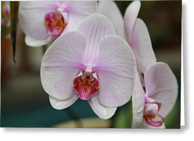 Orchids - Us Botanic Garden - 011312 Greeting Card by DC Photographer