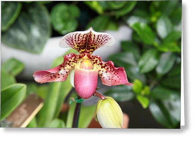 Orchids - Us Botanic Garden - 011332 Greeting Card by DC Photographer