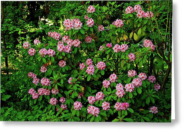 Oregon Azaleas Greeting Card