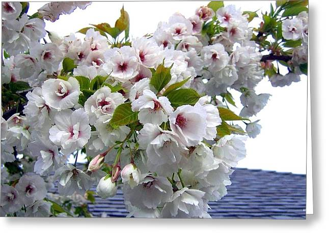 Oregon Cherry Blossoms Greeting Card by Will Borden