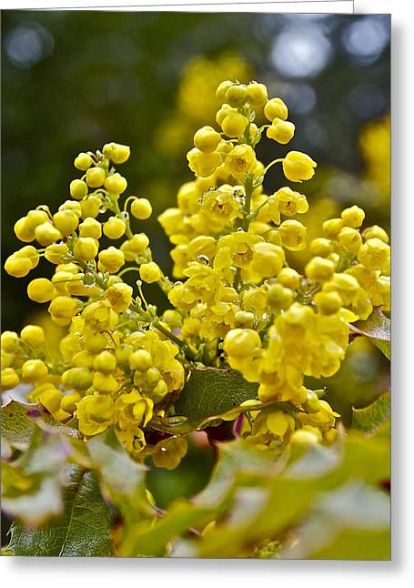 Greeting Card featuring the photograph Oregon Grape Blossoms by Todd Kreuter