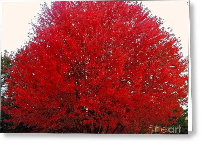 Oregon Red Maple Beauty Greeting Card by Kim Petitt