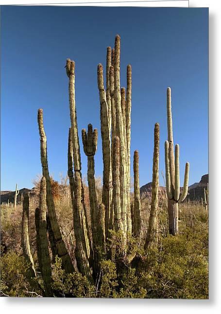 Organ Pipe Cactus Greeting Card