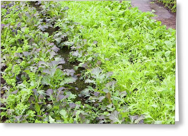 Organic Salad Crops Greeting Card