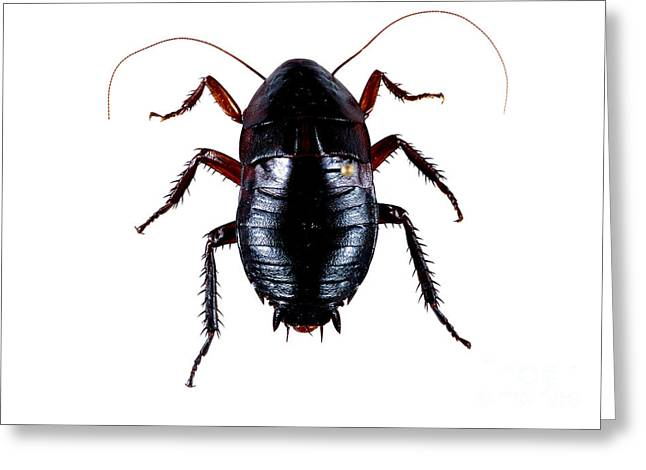 Oriental Cockroach Greeting Card by Barbara Strnadova