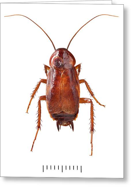 Oriental Cockroach Greeting Card by Natural History Museum, London