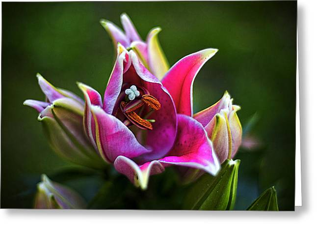 Oriental Day Lily Greeting Card