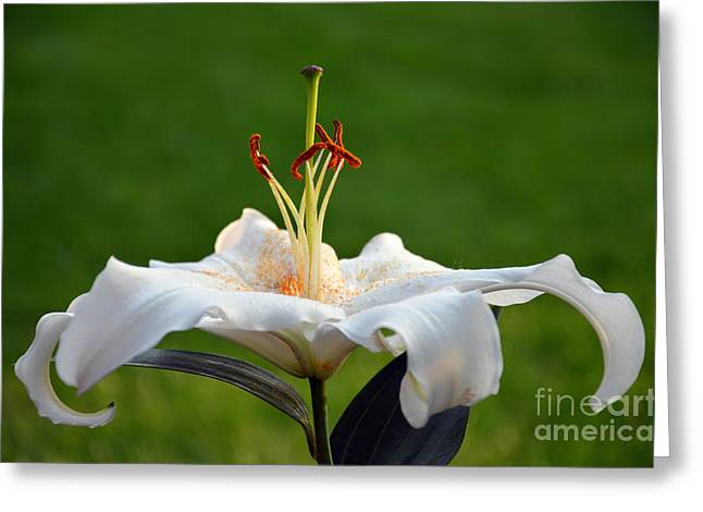 Oriental Hybrid Lily Greeting Card