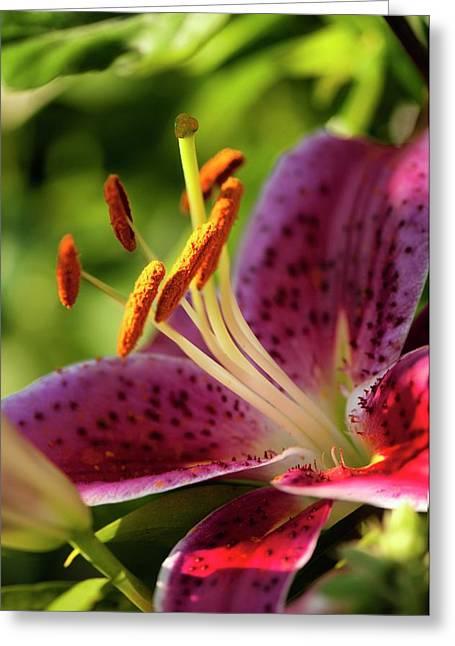 Oriental Lily (lilium Sp.) Flower Greeting Card by Maria Mosolova