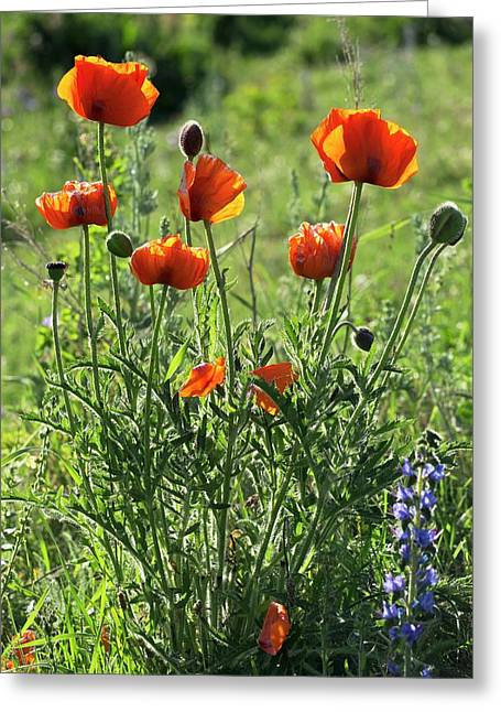 Oriental Poppies (papaver Orientale) Greeting Card by Bob Gibbons