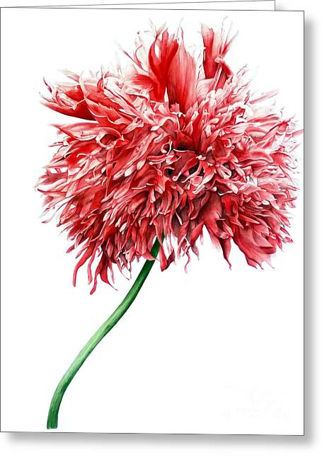 Oriental Poppy II Greeting Card by Marie Burke