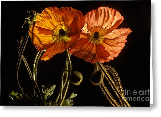 Oriental Poppy Papaver Orientale Greeting Card by Ron Sanford