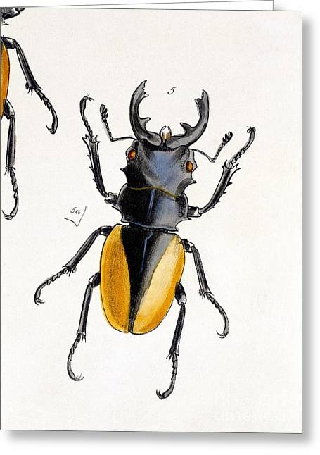 Oriental Stag Beetle, 19th Century Greeting Card