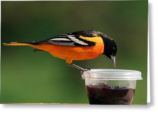 Oriole At Feeder Greeting Card