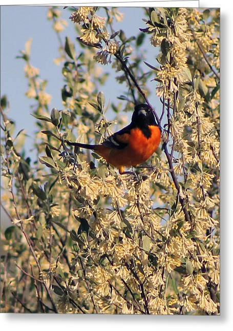 Oriole I Greeting Card